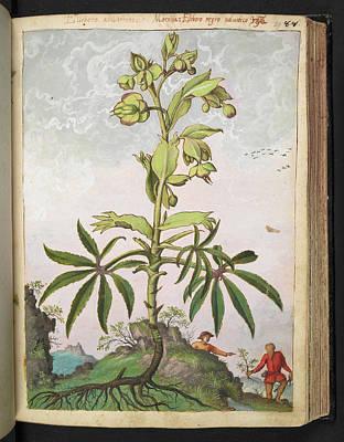 Hellebore Photograph - Hellebore (helleborus Sp.) by British Library