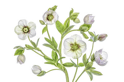 Floral Still Life Photograph - Hellebore by Mandy Disher