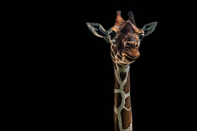 Zoo Animal Wall Art - Photograph - Hello by Branko Markovic