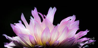 Photograph - Hello Dahlia by Amy Fearn