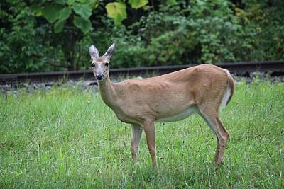 Photograph - Hello Deer by Anthony Trillo