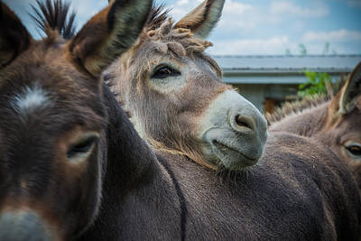 Bucks County Photograph - Hello Donkey by Kristopher Schoenleber