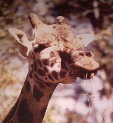 Velvety Giraffe Art Print by Belinda Lee