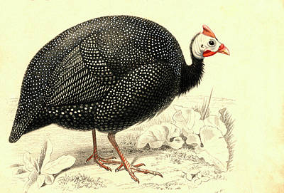 Gamebird Photograph - Helmeted Guineafowl by Collection Abecasis