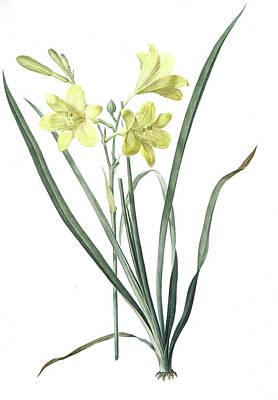 Day Lily Drawing - Hemerocallis Flava, Hemerocalle Jaune Yellow  Day Lily by Artokoloro