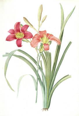Day Lily Drawing - Hemerocallis Fulva, Hemerocallie Fauve Tawny Day Lily by Artokoloro