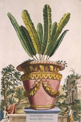 Potted Drawing - Hemionitis Crispa Media Obtusifolia by Abraham Munting