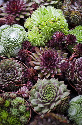 Photograph - Hen And Chicks by Heather Applegate