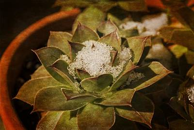 Photograph - Hen And Chicks In Winter by MM Anderson