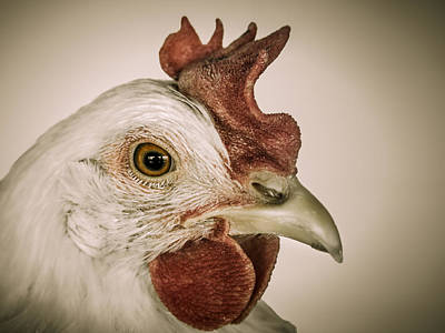 Photograph - Hen Pecked by Bradley Clay