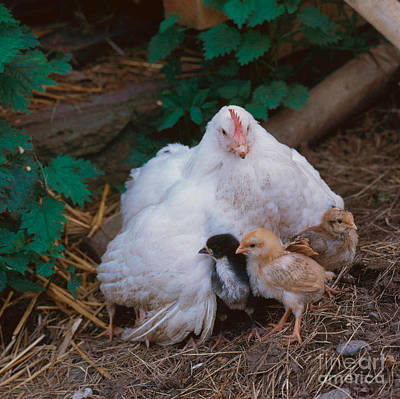 Photograph - Hen With Chicks by Hans Reinhard