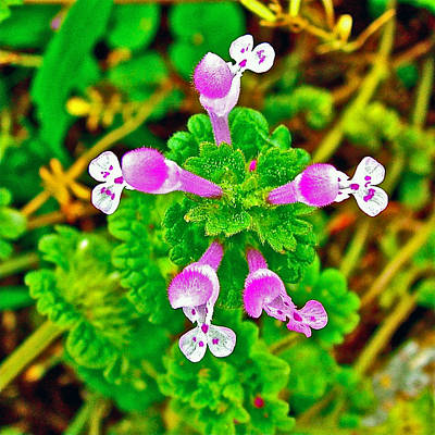 Henbit At Chickasaw Village Site At Mile 262 Of Natchez Trace Parkway-mississippi Art Print by Ruth Hager