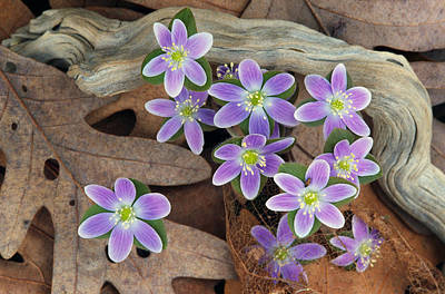 Fallen Leaf Photograph - Hepatica Flowers Growing Through Fallen by Panoramic Images