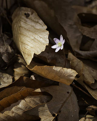 Photograph - Hepatica In Filtered Light by Michael Dougherty