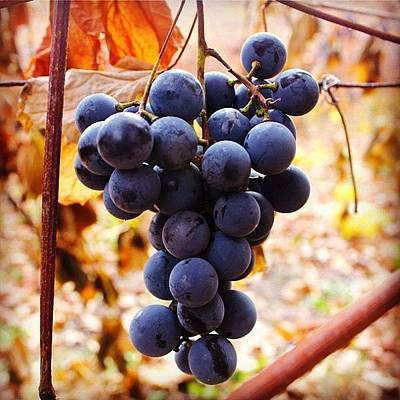 Grapes Photograph - Her Choice by Justin Connor