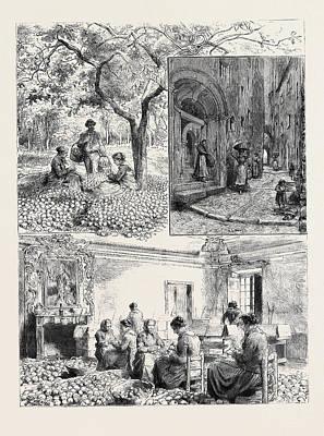 Lemon Drawing - Her Majestys Visit To Mentone 1. Gathering Lemons by English School