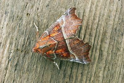 Herald Moth Art Print by David Aubrey