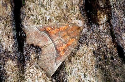 Herald Moth Art Print by Nigel Downer