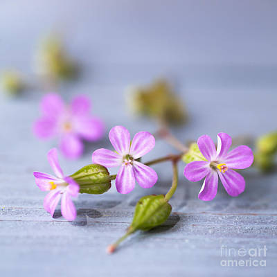 Herb Robert Art Print by Jan Bickerton