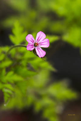 Rollos Photograph - Herb Robert Wildflower by Christina Rollo