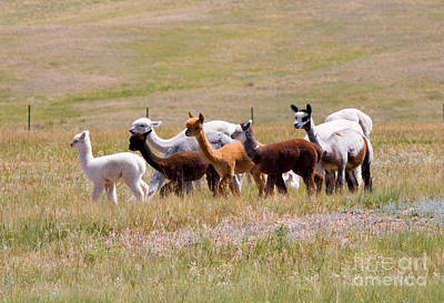 Steven Krull Royalty-Free and Rights-Managed Images - Herd of Alpaca on the Move by Steven Krull