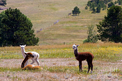 Steven Krull Royalty-Free and Rights-Managed Images - Herd of Alpaca by Steven Krull