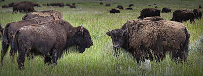 Herd Of American Buffalo Or Bison In Yellowstone Art Print