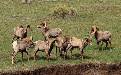 Mark Wagner Wall Art - Photograph - Herd Of Big Horn Sheep by Mark Wagner