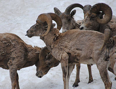 Photograph - Herd Of Bighorns by Robert  Moss