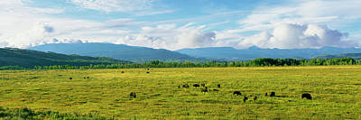 Bison Photograph - Herd Of Bison Grazing In A Field by Panoramic Images