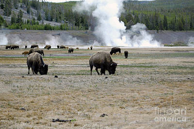 Outdoors Photograph - Herd Of Bison Grazing In Front Of Steam Vents Yellowstone National Park by Shawn O'Brien