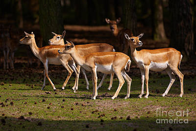 Photograph - Herd Of Blackbuck Antilopes In A Dark Forest by Nick  Biemans