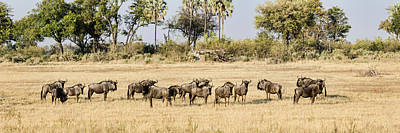 Wildebeest Photograph - Herd Of Blue Wildebeest Connochaetes by Panoramic Images