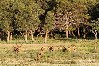 Photograph - Herd Of Bull Elk by Martha Marks