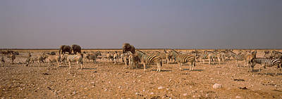 Herd Of Burchells Zebras Equus Quagga Art Print by Panoramic Images