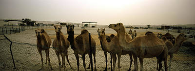 Camel Photograph - Herd Of Camels In A Farm, Abu Dhabi by Panoramic Images