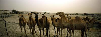 Herd Of Camels In A Farm, Abu Dhabi Art Print