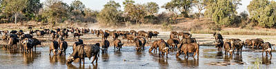 Herd Of Cape Buffalos Syncerus Caffer Art Print by Panoramic Images