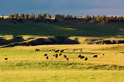 Break Of Day Photograph - Herd Of Cattle Grazing In Grassy by Animal Images