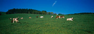 Pasture Scenes Photograph - Herd Of Cows Grazing In A Field, St by Panoramic Images