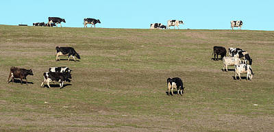 Point Reyes National Seashore Photograph - Herd Of Cows Grazing On A Hill, Point by Animal Images