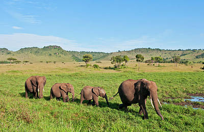 Photograph - Herd Of Elephants In Tall Grass, Maasai by Danita Delimont