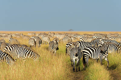 Of Zebra Grazing Photograph - Herd Of Plains Zebras, Equus Quagga by Sergio Pitamitz