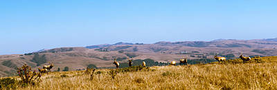 Point Reyes National Seashore Photograph - Herd Of Roosevelt Elk Cervus Canadensis by Panoramic Images