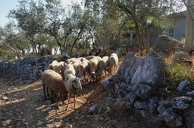 Photograph - Herd Of Sheep by Dany Lison