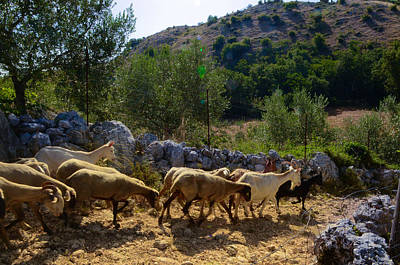 Photograph - Herd Of Sheep In Tuscany by Dany Lison