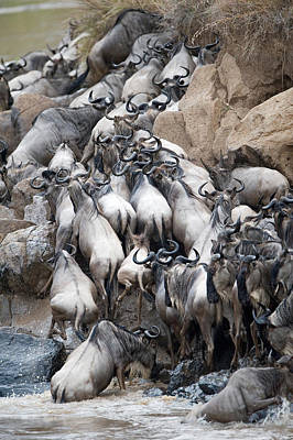 Herd Of Wildebeests Crossing A River Art Print by Panoramic Images