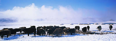 Yak Wall Art - Photograph - Herd Of Yaks On A Polar Landscape by Animal Images