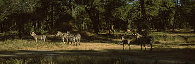 Zimbabwe Photograph - Herd Of Zebras In A Forest, Hwange by Panoramic Images