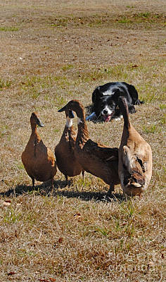 Herding Dog Photograph - Herding Ducks by Skip Willits